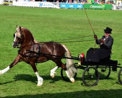 Welsh Driving Sec D Stallion Thorneyside Touch Of Class
